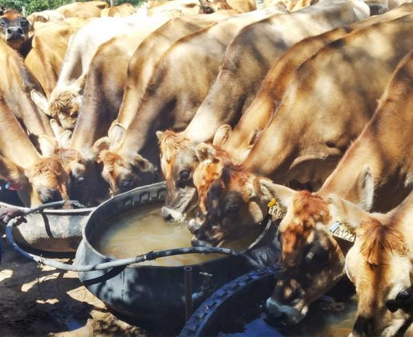 Matopos Cattle