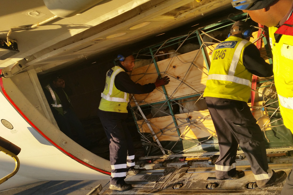 Double-decker goat airfreight crate